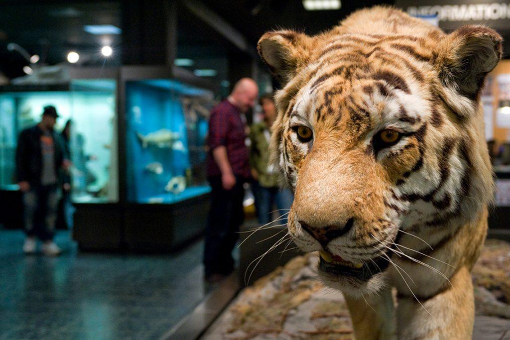 Digitale Tiertour mit Tiger im Zoologischen Museum. © Museumsdienst Hamburg / Mario Sturm
