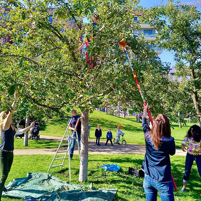 Bei der Apfelernte kletterten die Kinder in die Bäume und schüttelten, bis die Äpfel herunterprasselten, während die Erwachsenen wie hier Anwohner Andreas Honert die schönsten Exemplare mit Obstpflückern herunterholten. © Wolfgang Weisbrod-Weber