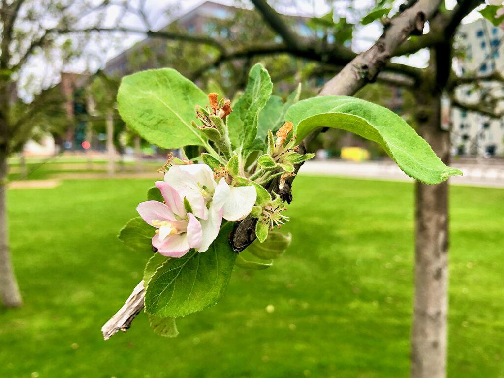 Ist die zweite Apfelblüte im September eine Stressreaktion auf die Hitze und Trockenheit oder auf den späten Frost zurückzuführen? © Wolfgang Weisbrod-Weber