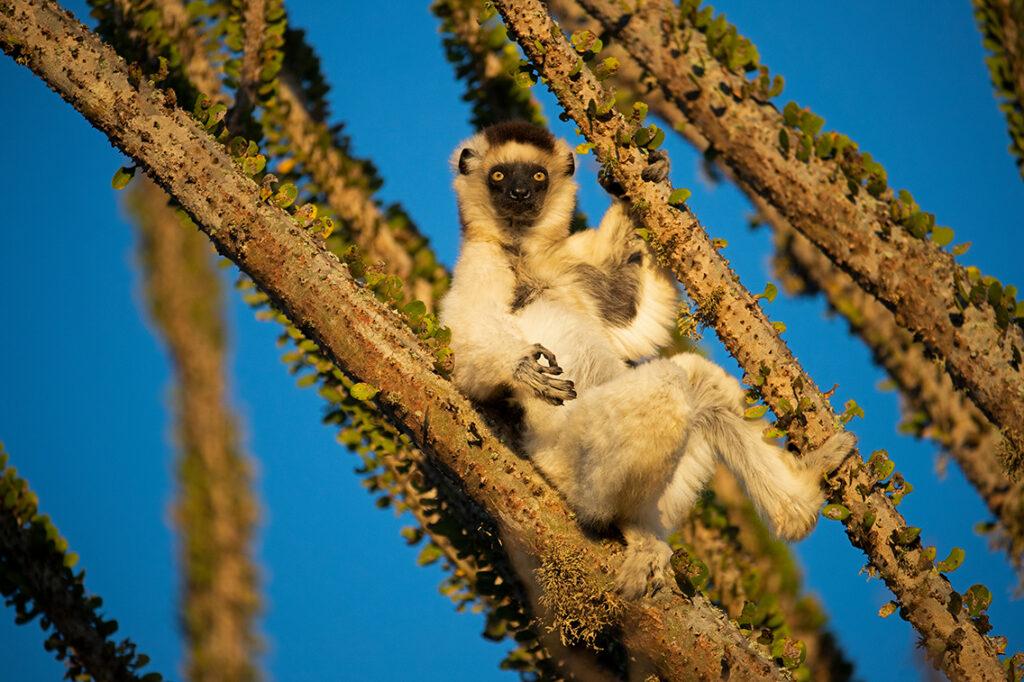 Larvensifaka, Madagaskar, Berenty Reserve: Die vom Aussterben bedrohte Lemurenart Larvensifaka lebt nur auf Madagaskar. © Thorsten Milse   WWF