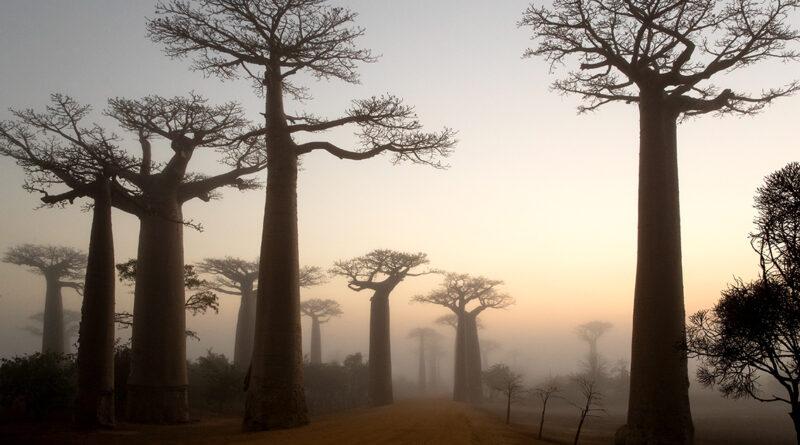 Affenbrotbaum, Madagaskar, Menabe Area: Die bis zu 25 Meter hohen Baumriesen mit ihren flachen Baumkronen sind die Wahrzeichen von Madagaskar. © Thorsten Milse | WWF