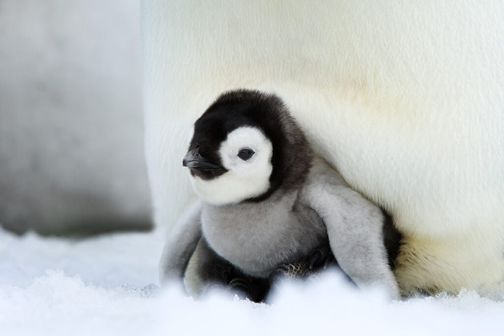 In den ersten Monaten können die Kaiserpinguin-Küken noch nicht selbstständig aufs antarktische Eis hinaus, weil sie erfrieren würden. Nach ihrem Schlüpfen müssen sie auf den Füßen ihrer Eltern wohnen und die ersten Monate Zuflucht in einer wärmenden Hautfalte suchen. © Thorsten Miles | WWF
