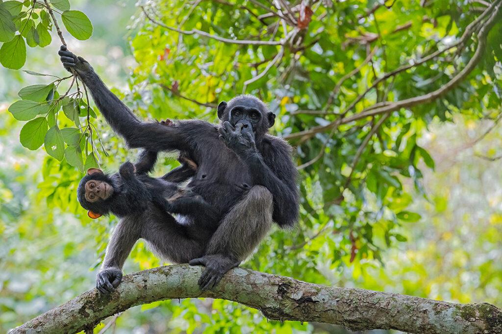 Schimpansen, Tansania, Greystoke: Etwa 700 Individuen leben noch im Mahale Mountains Nationalpark im Westen Tansanias am Tanganjikasee. © Thorsten Milse | WWF